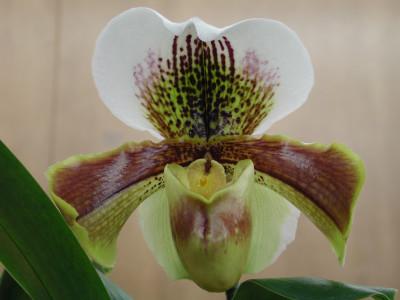 Paphiopedilum Hybride (Jungpfl.)