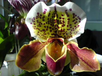Paphiopedilum Pacific Ocean 'Anne' x Bountry Bay