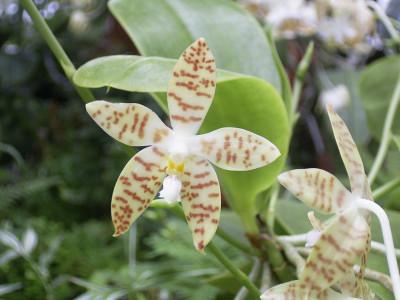 Phalaenopsis pallens (Jgpfl.)