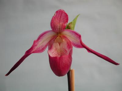 Phragmipedium sedenii Hybride