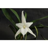 Angraecum sesquipedale (bosseri)