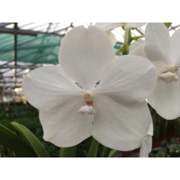 Vanda Diamond White