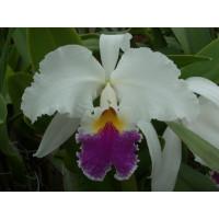 Cattleya Harold 'alba'