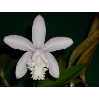 Cattleya intermedia 'alba'