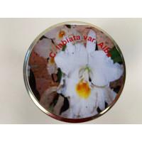Cattleya labiata 'alba' (im sterilen Glas)