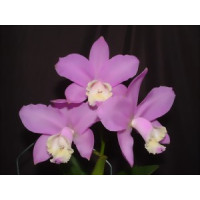 Cattleya loddigesii (Jgpfl.)