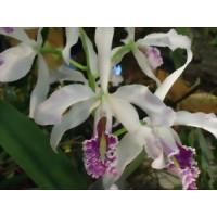 Cattleya maxima 'alba' x 'semi-alba'