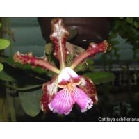 Cattleya schilleriana 'imperialis'