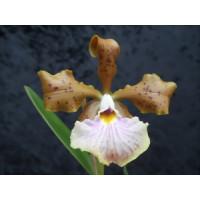 Cattleya velutina