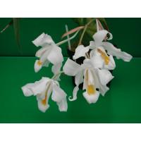 Coelogyne cristata 'citrina'