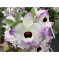 Dendrobium Brilliant Smile
