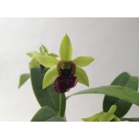 Dendrobium convolutum
