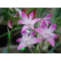 Dendrobium kingianum (5+ Stiele)