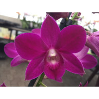 Dendrobium Sa-Nook 'Purple Happiness'