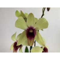 Dendrobium Sa-Nook 'Banana Chocolate'
