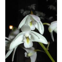 Dendrobium delicatum (2-3 Rispen)