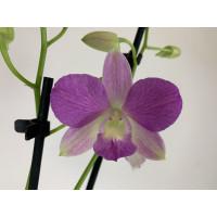 Dendrobium Sa-Nook 'Summer Candy'