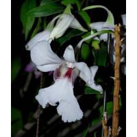 Dendrobium dearai
