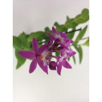 Epidendrum Ballerina 'Rosy' (Jgpfl.)