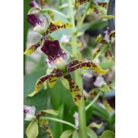 Epidendrum scriptum
