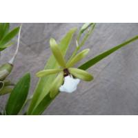 Epidendrum tripunctatum