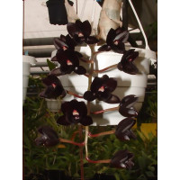 Fredclarkeara After Dark 'SVO Black Pearl' FCC/AOS