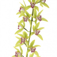 Cymbidium Cascade 'Cliff Hutchings'