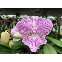 Phalaenopsis Little Big Lip (2 Rispen)