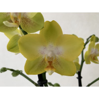 Phalaenopsis Arezzo