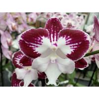 Phalaenopsis Tinker Bell 'Kizz'