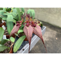 Bulbophyllum rothschildianum 'Fuhrberg Beauty' SM/DOG
