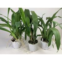Brassia-Sortiment (keiliana, maculata, verrucosa)