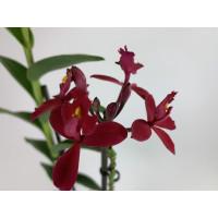 Epidendrum Ballerina 'Red' (Jgpfl.)