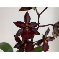 Colmanara Wildcat 'Black Cat'