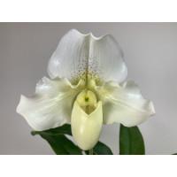 Paphiopedilum White Lady (1 Stiel)