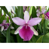Miltonia Honolulu 'Dark Lip'