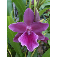 Miltonia Honolulu 'Warne's Best'