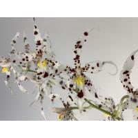 Odontoglossum naevium (3 Rispen)