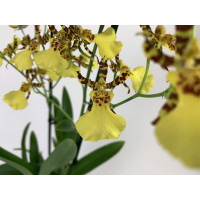 Oncidium Honey Bee (1 Rispe)