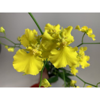 Oncidium Pure Yellow (1 Rispe)