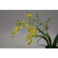 Oncidium Tiny Twinkle 'Gold Dust'