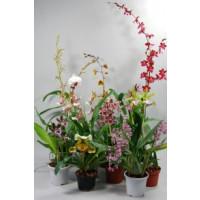 Orchideen-Schnäppchen (11 knospige/blühende Pfl.)