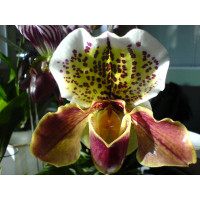Paphiopedilum Komplex-Hybride