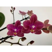 Phalaenopsis Diffusion