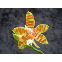 Phalaenopsis fasciata (Jgpfl.)