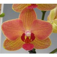 Phalaenopsis Florida