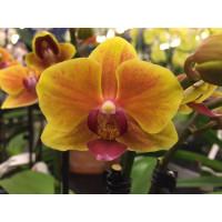 Phalaenopsis Gracia