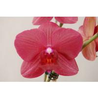 Phalaenopsis Indiana