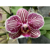 Phalaenopsis Little Zebra