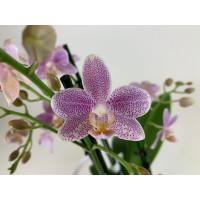 Phalaenopsis Mayang Angel (4 Rispen)